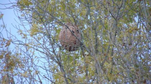 Un impressionnant nid de frelons asiatiques à Saint-Jean-de-Bonneval - L'Est Eclair
