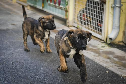 Douze Chiots Croises Malinois A Adopter Au Refuge D Epernay