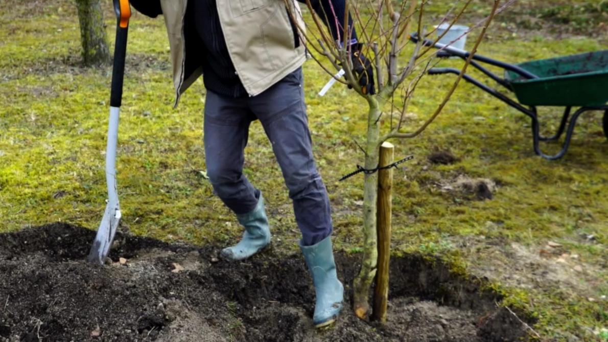 Comment Planter Un Arbre Fruitier jardinage: c'est le moment de planter vos arbres fruitiers