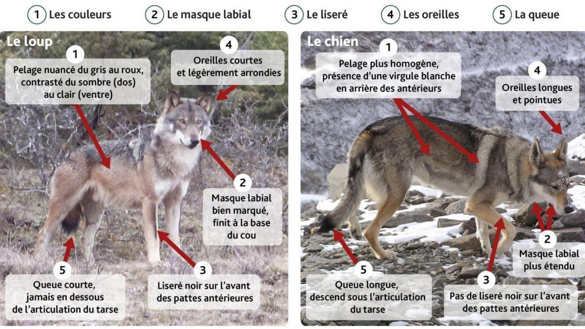 Belle Cinq critères pour savoir différencier un loup d'un chien CD-85