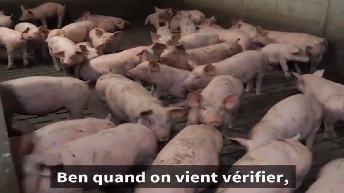 Un député LFI s'introduit dans un élevage porcin intensif