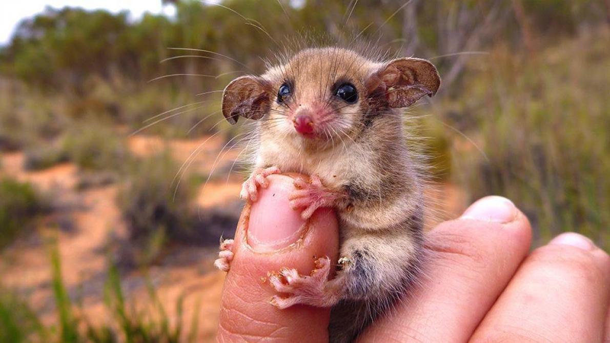 Une araignée géante dévore un opossum — Australie