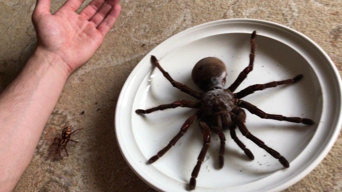 Australie : une araignée géante dévore un opossum
