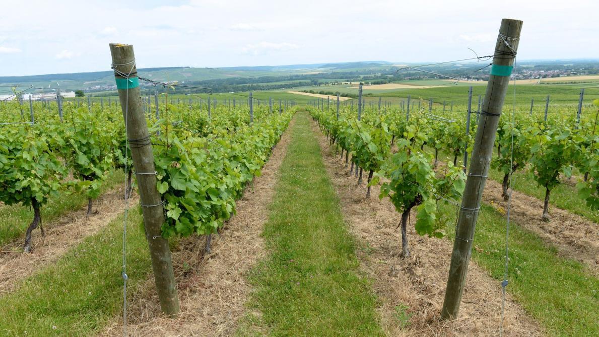 Les vignes semi-larges sont expérimentées par le Comité Champagne à Plumecoq depuis une vingtaine d'années ainsi que dans 16 autres parcelles en Champagne.