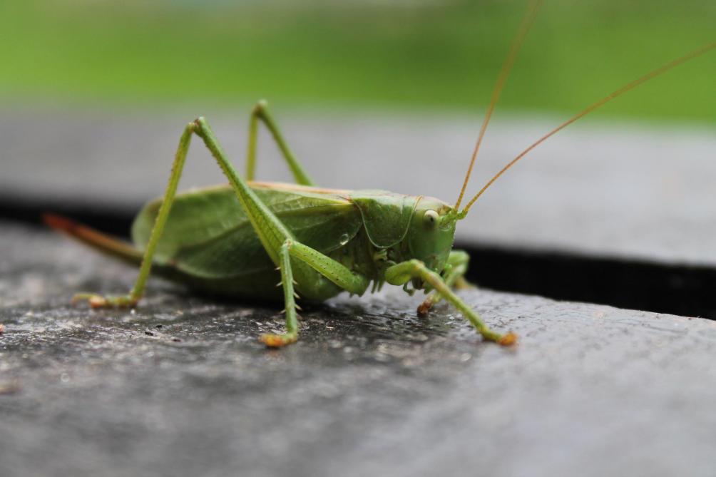 Des millions de sauterelles déferlent sur Las Vegas — États-Unis