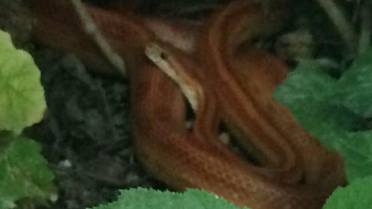 Jardin À L Américaine un serpent exotique capturé dans un jardin à reims