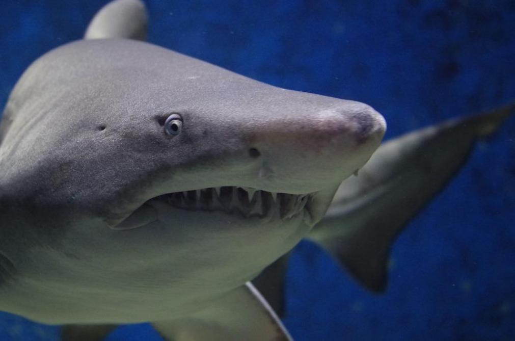 Un avant-bras retrouvé dans le ventre d'un requin à La Réunion