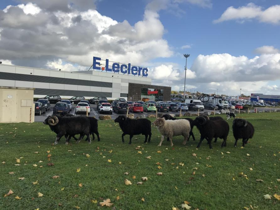 Vidéo Des Moutons Broutent Désormais à Leclerc Saint Brice