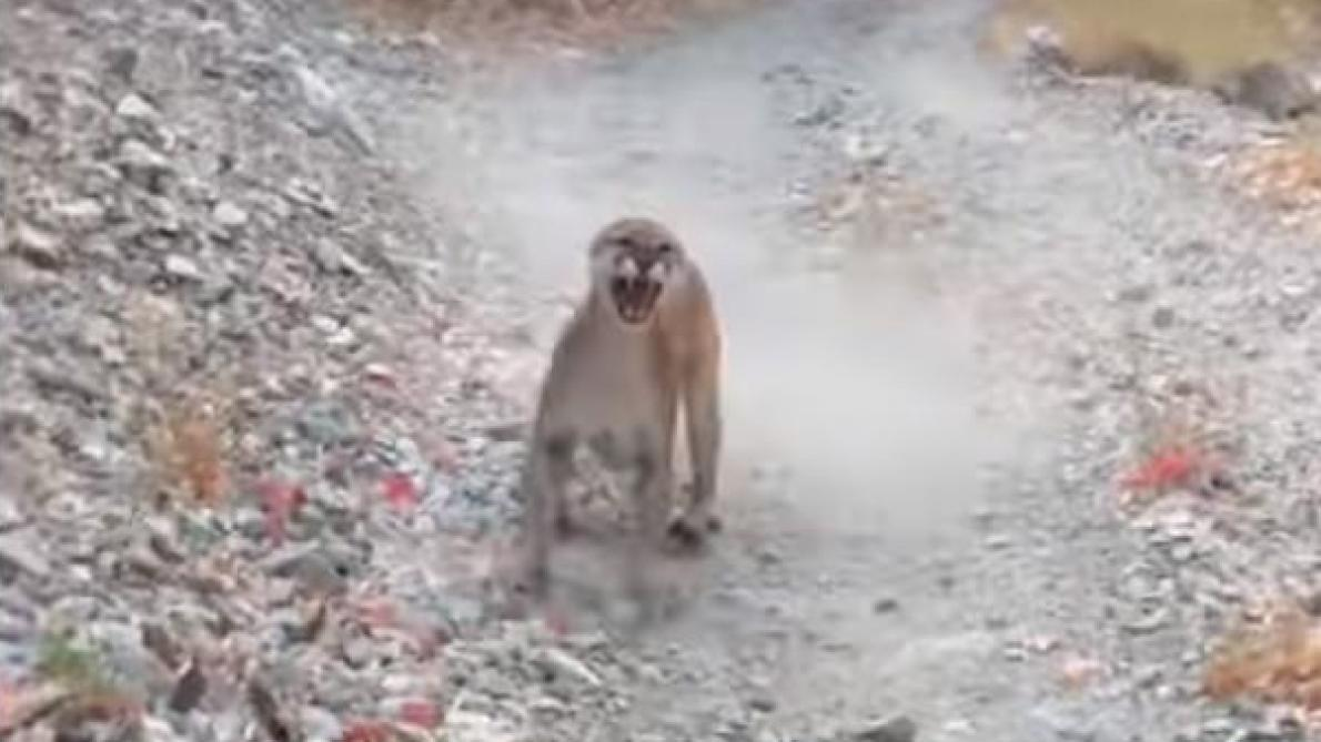 Un coureur poursuivi par un puma pendant 6 minutes