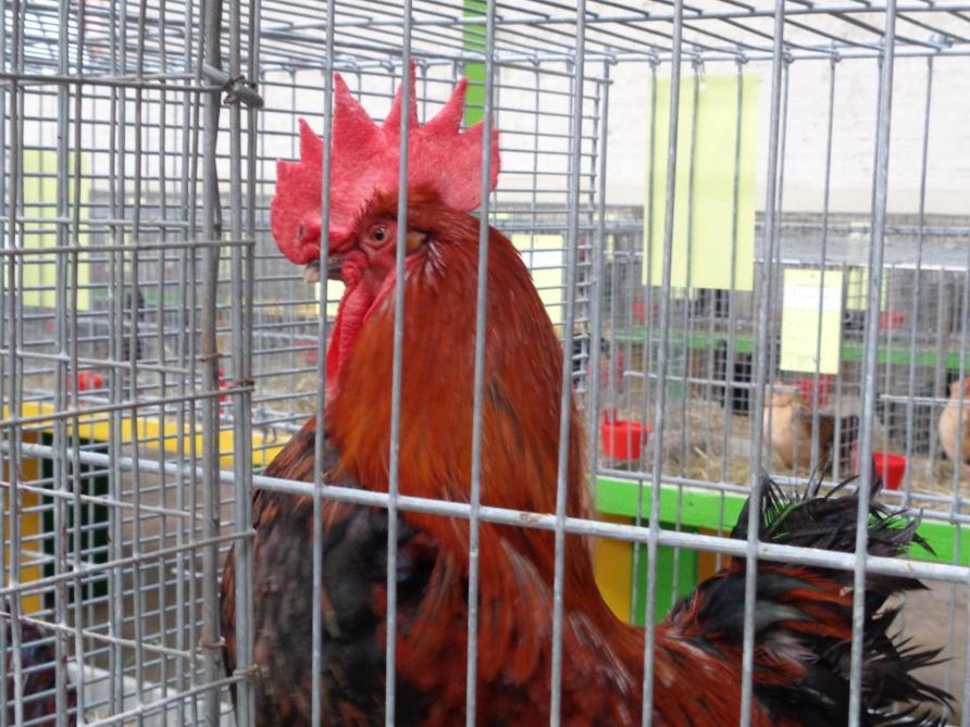Calendrier Des Expositions Avicoles 2022 L'exposition nationale d'aviculture de Bussy Lettrée reportée à