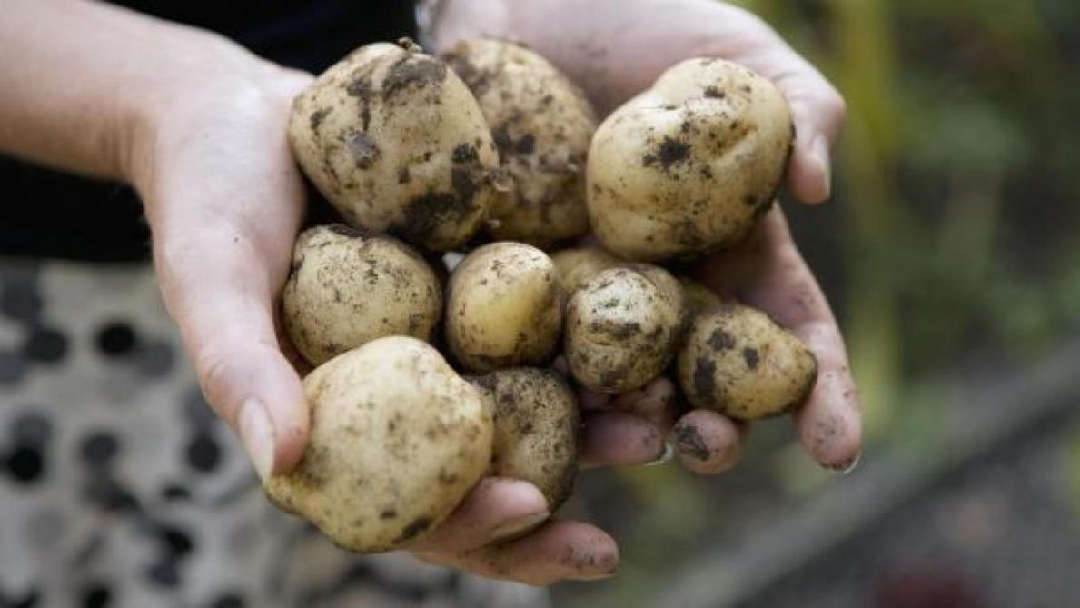 Des restes humains? Non, une patate, conclut la police britannique