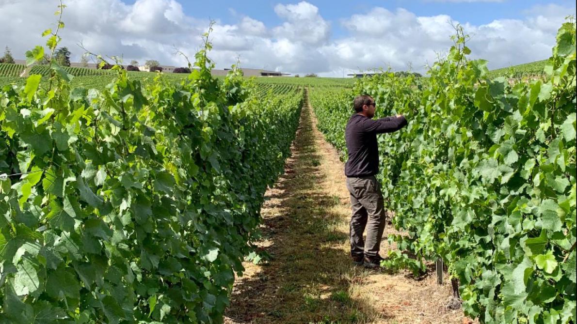 Les vignes semi-larges vont pouvoir être utilisées par les viticulteurs de Champagne.